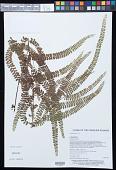 view Lindsaea rigida J. Sm. digital asset number 1