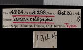 view Tamias speciosus callipeplus digital asset number 1