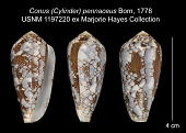 view Conus (Cylinder) pennaceus Born, 1778 digital asset number 1