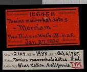 view Tamias quadrimaculatus digital asset number 1
