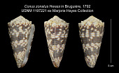 view Conus zonatus Hwass in Bruguière, 1792 digital asset number 1