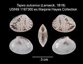 view Tapes sulcarius (Lamarck, 1818) digital asset number 1