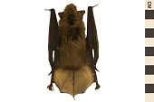 view Big Brown Bat digital asset number 1
