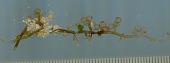 view Caulerpa microphysa (Weber Bosse) Feldmann digital asset number 1