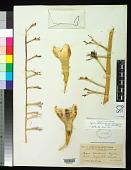 view Agave utahensis var. eborispina digital asset number 1