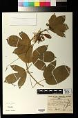 view Passiflora edulis Sims digital asset number 1