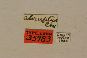 view Hypermallus abruptus Casey, 1912 digital asset number 1