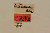 view Leptacmaeops intermedia Casey, 1913 digital asset number 1