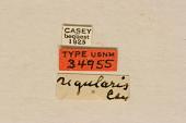 view Strangalia regularis Casey, 1913 digital asset number 1