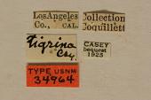 view Strophiona tigrina Casey, 1913 digital asset number 1