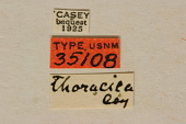 view Typocerus thoracicus Casey, 1913 digital asset number 1