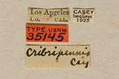 view Pyrotrichus cribripennis Casey, 1913 digital asset number 1