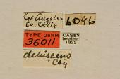 view Callimus dehiscens Casey, 1912 digital asset number 1