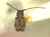 view Paremeopodus tiliacei Gressitt, 1956 digital asset number 1
