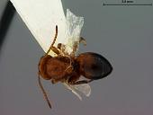 view Callirhytis petrosa digital asset number 1
