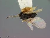 view Cynips quercus aquaticae Ashmead, 1881 digital asset number 1
