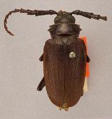 view Prionus (Prionellus) parvus Casey, 1912 digital asset number 1