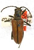 view Stenocorus (Stenocorus) oregonensis Casey, 1913 digital asset number 1