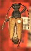 view Brachyleptura fusella Casey, 1913 digital asset number 1