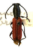 view Ancylocera brevicornis Casey, 1893 digital asset number 1