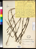 view Crotalaria linifolia L. f. digital asset number 1