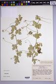 view Passiflora arida digital asset number 1