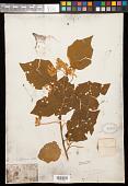 view Solanum fendleri Van Heurck & Müll. Arg., nom. illeg. digital asset number 1