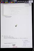 view Bryopsis rhizophora M. Howe digital asset number 1