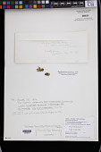 view Caulerpa tomentella Harv. ex J. Agardh digital asset number 1