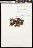 view Cetrariastrum lipidiferum (Hale & M. Wirth) W.L. Culb. & C.F. Culb. digital asset number 1