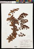 view Berberis verticillata Turcz. digital asset number 1