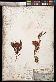 view Protea scolymocephala Reichard digital asset number 1