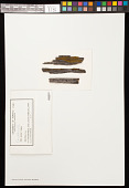 view Candelariella stenospora B. de Lesd. digital asset number 1