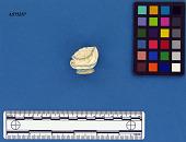 view Pearlware embossed lid finial fragment digital asset number 1