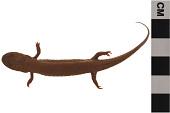 view Eastern Mud Salamander digital asset number 1