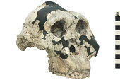 view OH 5, Fossil Hominid, Fossil Hominid digital asset number 1