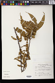 view Grewia salicifolia Schinz digital asset number 1