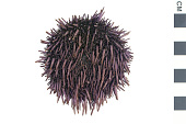 view Purpled-spined Sea Urchin digital asset number 1