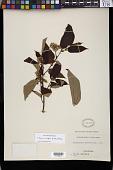 view Duboscia viridiflora (K. Schum.) Mildb. digital asset number 1