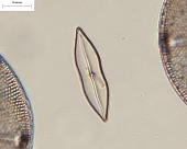 view Mastogloia achnanthoides A. Mann digital asset number 1