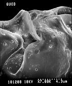 view Ostreopsis siamensis Johs. Schmidt digital asset number 1
