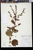 view Triumfetta rhomboidea Jacq. digital asset number 1