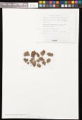 view Pannaria rubiginosa (Thunb.) Delise digital asset number 1
