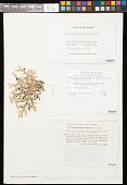 view Pseudocyphellaria faveolata (Delise) Malme digital asset number 1
