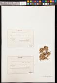 view Stereocaulon rubiginosum Pers. digital asset number 1