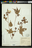 view Gossypium trilobum (Sessé & Moc. ex DC.) Skovst. digital asset number 1