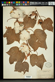 view Gossypium peruvianum Cav. digital asset number 1