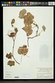 view Gossypium arboreum L. digital asset number 1