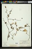 view Gossypium armourianum Kearney digital asset number 1