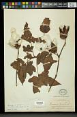view Gossypium barbadense var. acuminatum (Roxb. ex G. Don) Triana & Planch. digital asset number 1